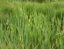 Gul Iris IMG_1091